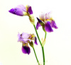 Own iris.  Trademarks or color forms is remarkable.  Blue yellow.