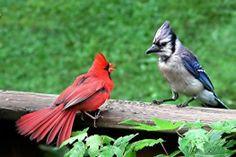 Crunchyroll Forum Cardinal Vs Blue Jay